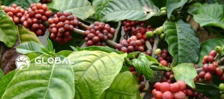 Overview of Info about the Largest Coffee Plantation in Indonesia