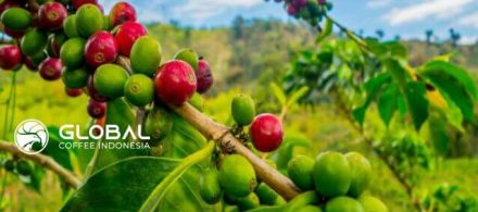 16. The Characteristic of Fragrant Coffee Flowers in Mandheling